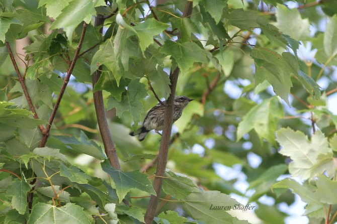 Immature Yellow-rumped Warbler