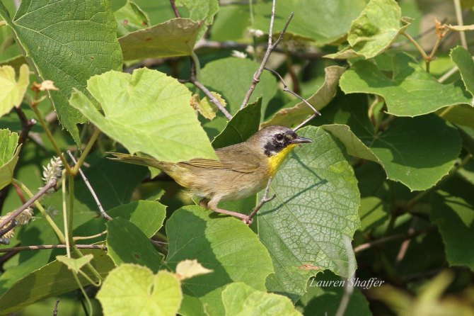 Juvenile male Common Yellowthroat